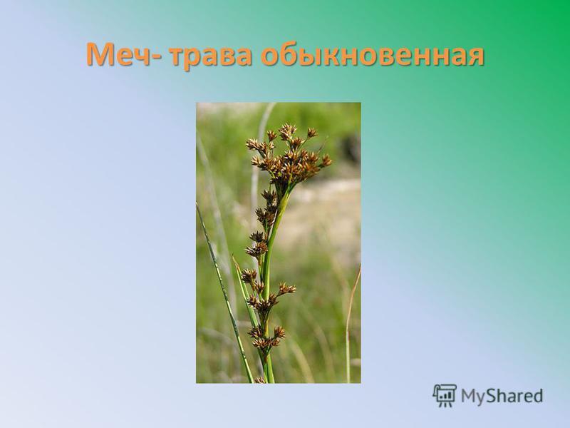 Меч- трава обыкновенная