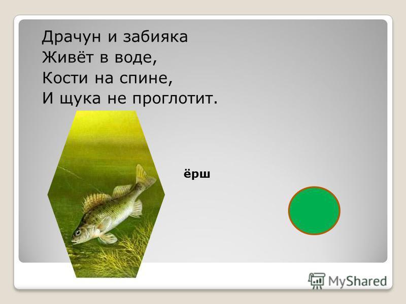 Драчун и забияка Живёт в воде, Кости на спине, И щука не проглотит. ёрш