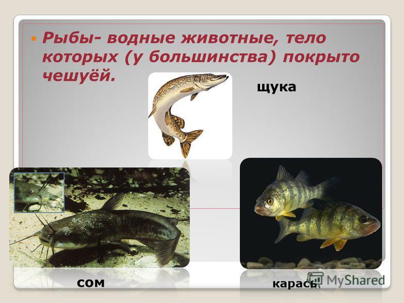 Рыбы- водные животные, тело которых (у большинства) покрыто чешуёй. щука сом карась