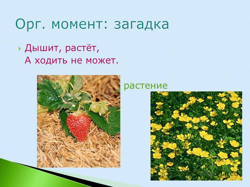 Дышит, растёт, А ходить не может. растение