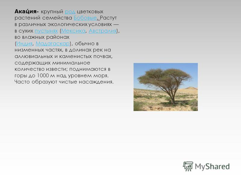 Акация- крупный род цветковых растений семейства Бобовые. Растут в различных экологических условиях в сухих пустынях (Мексика, Австралия), во влажных районах (Индия, Мадагаскар), обычно в низменных частях, в долинах рек на аллювиальных и каменистых п