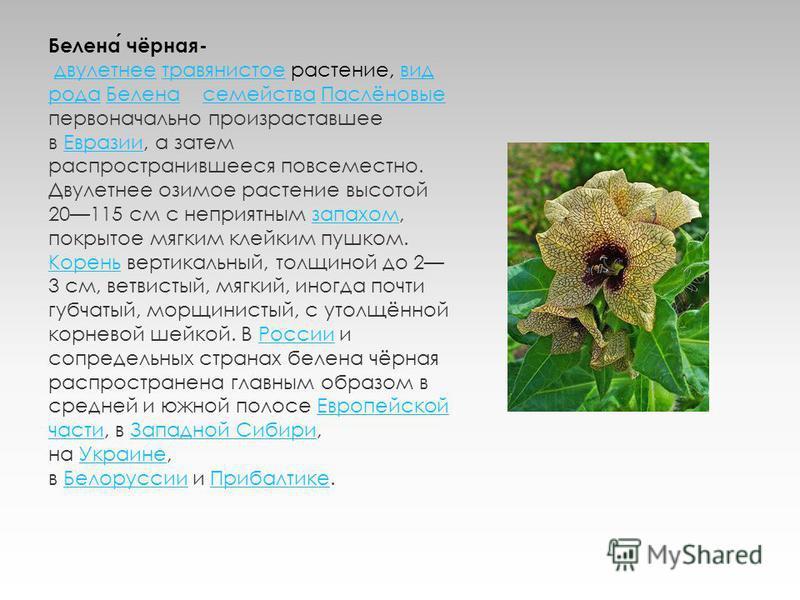 Белена чёрная- двулетнее травянистое растение, вид рода Белена семейства Паслёновые первоначально произраставшее в Евразии, а затем распространившееся повсеместно. Двулетнее озимое растение высотой 20115 см с неприятным запахом, покрытое мягким клейк