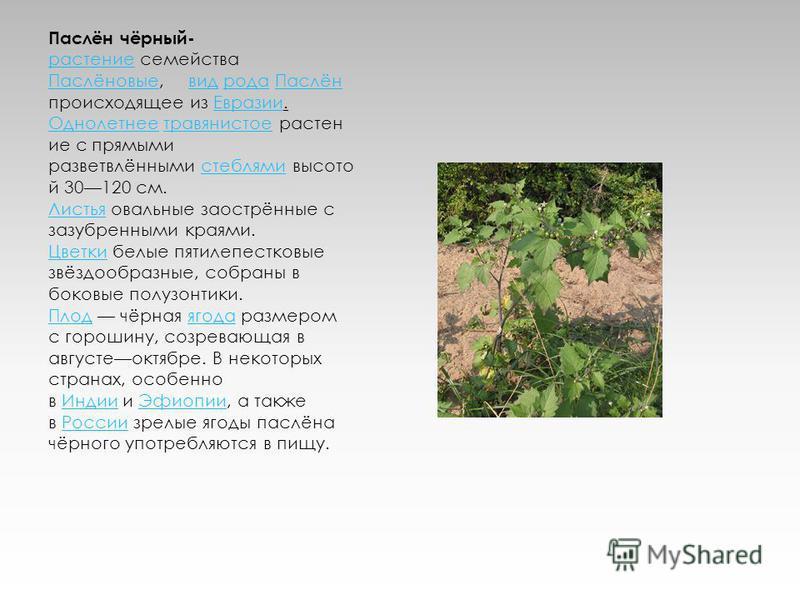 Паслён чёрный- растение семейства растение Паслёновые Паслёновые, вид рода Паслён происходящее из Евразии. Однолетнее травянистое растение с прямыми разветвлёнными стеблями высотой 30120 см.вид рода Паслён Евразии Однолетнеетравянистоестеблями Листья