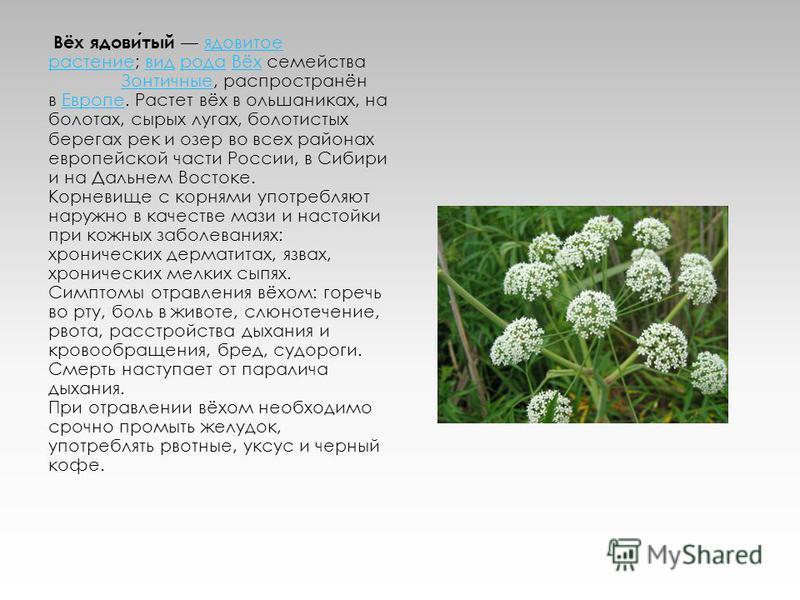 Вёх ядовитый ядовитое растение; вид рода Вёх семейства Зонтичные, распространён в Европе. Растет вёх в ольшаниках, на болотах, сырых лугах, болотистых берегах рек и озер во всех районах европейской части России, в Сибири и на Дальнем Востоке. Корневи