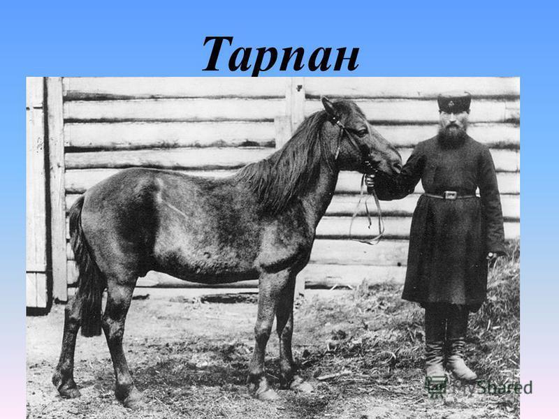 Тарпан