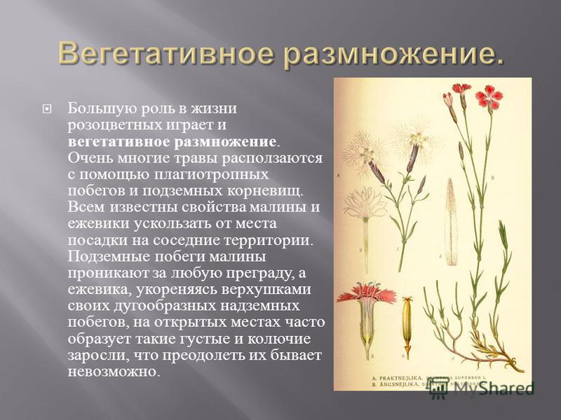 Большую роль в жизни розоцветных играет и вегетативное размножение. Очень многие травы расползаются с помощью плагиотропных побегов и подземных корневищ. Всем известны свойства малины и ежевики ускользать от места посадки на соседние территории. Подз