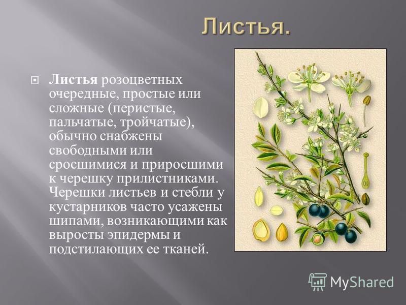 Листья розоцветных очередные, простые или сложные ( перистые, пальчатые, тройчатые ), обычно снабжены свободными или сросшимися и приросшими к черешку прилистниками. Черешки листьев и стебли у кустарников часто усажены шипами, возникающими как вырост
