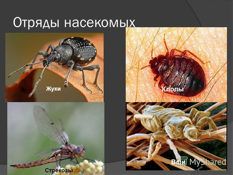Отряды насекомых Стрекозы Вши Клопы Жуки