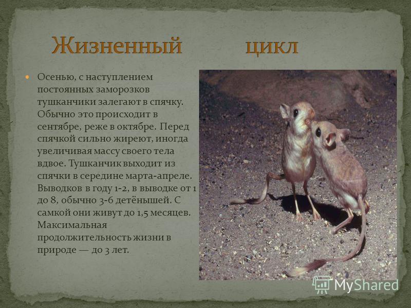 Тушканчик относится к всеядным грызунам в его рационе в равной мере могут присутствовать растительные (семена, корни, луковицы) и животные (насекомые) корма. Он легко переходит с одного типа корма на другой в зависимости от его доступности и времени