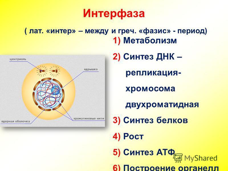 Интерфаза ( лат. «интер» – между и греч. «фазис» - период) 1) Метаболизм 2) Синтез ДНК – репликация- хромосома двухроматидная 3) Синтез белков 4) Рост 5) Синтез АТФ 6) Построение органелл