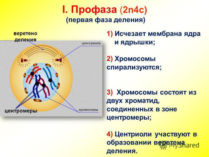 I. Профаза (2n4c) (первая фаза деления) 1) Исчезает мембрана ядра и ядрышки; 2) Хромосомы спирализуются; 3) Хромосомы состоят из двух хроматид, соединенных в зоне центромеры; 4) Центриоли участвуют в образовании веретена деления. веретено деления цен