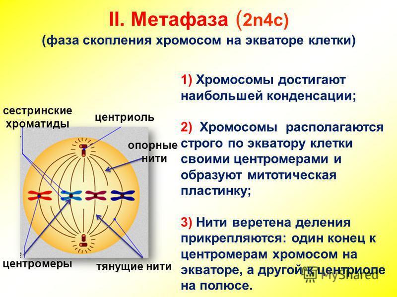 II. Метафаза ( 2n4c) (фаза скопления хромосом на экваторе клетки) сестринские хроматиды центриоль центромеры тянущие нити опорные нити 1) Хромосомы достигают наибольшей конденсации; 2) Хромосомы располагаются строго по экватору клетки своими центроме