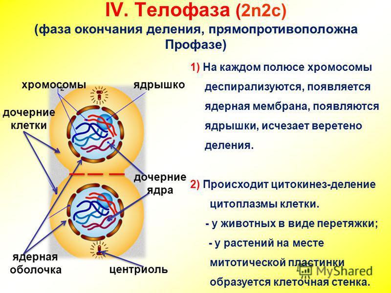 IV. Телофаза (2n2c) (фаза окончания деления, прямо противоположна Профазе) дочерние клетки центриоль хромосомы 1) На каждом полюсе хромосомы деспирализуются, появляется ядерная мембрана, появляются ядрышки, исчезает веретено деления. 2) Происходит ци