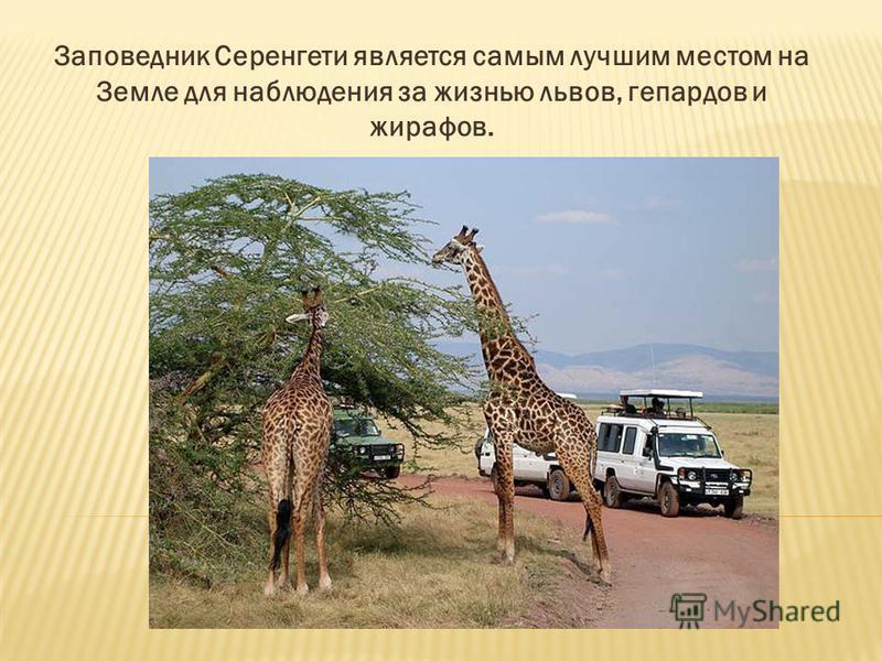 Заповедник Серенгети является самым лучшим местом на Земле для наблюдения за жизнью львов, гепардов и жирафов.