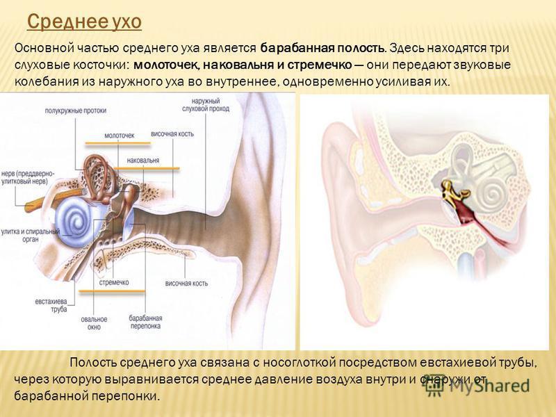 Среднее ухо Основной частью среднего уха является барабанная полость. Здесь находятся три слуховые косточки: молоточек, наковальня и стремечко они передают звуковые колебания из наружного уха во внутреннее, одновременно усиливая их. Полость среднего