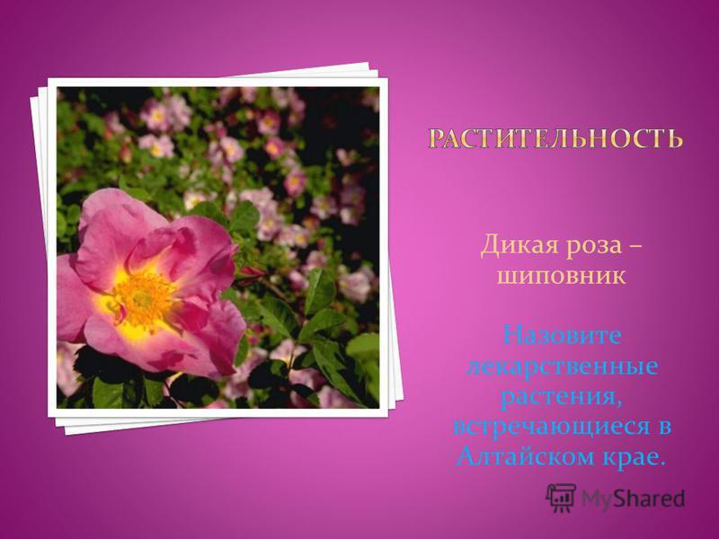 Дикая роза – шиповник Назовите лекарственные растения, встречающиеся в Алтайском крае.