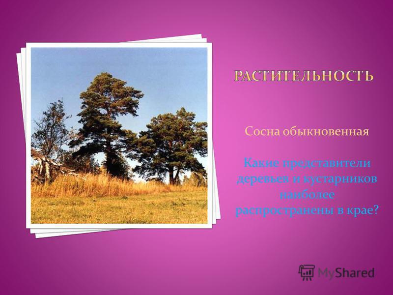 Сосна обыкновенная Какие представители деревьев и кустарников наиболее распространены в крае?
