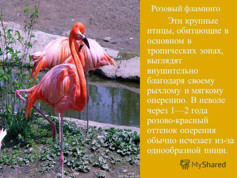 Розовый фламинго Эти крупные птицы, обитающие в основном в тропических зонах, выглядят внушительно благодаря своему рыхлому и мягкому оперению. В неволе через 12 года розово - красный оттенок оперения обычно исчезает из - за однообразной пищи.