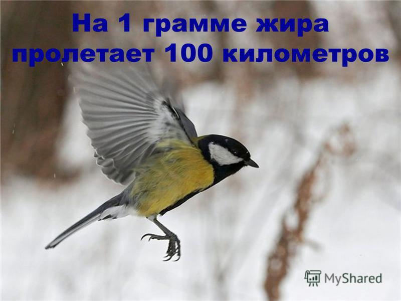 На 1 грамме жира пролетает 100 километров