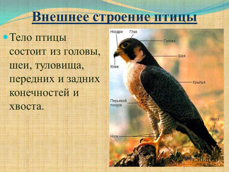 Внешнее строение птицы Тело птицы состоит из головы, шеи, туловища, передних и задних конечностей и хвоста.