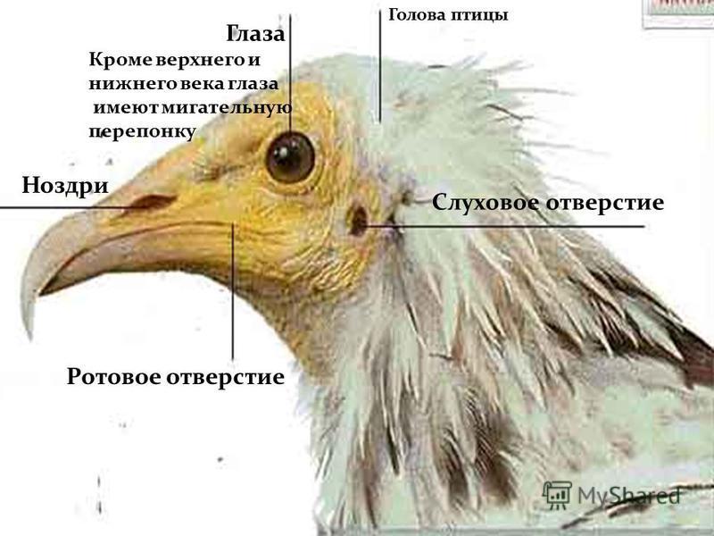 Ноздри Слуховое отверстие Глаза Кроме верхнего и нижнего века глаза имеют мигательную перепонку Ротовое отверстие Голова птицы