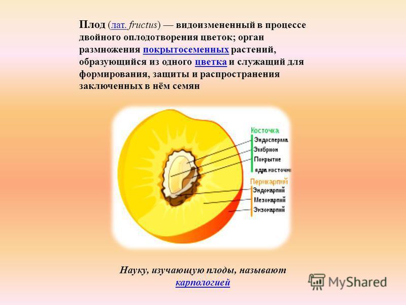 Плод (лат. fructus) видоизмененный в процессе двойного оплодотворения цветок; орган размножения покрытосеменных растений, образующийся из одного цветка и служащий для формирования, защиты и распространения заключенных в нём семян лат.покрытосеменных