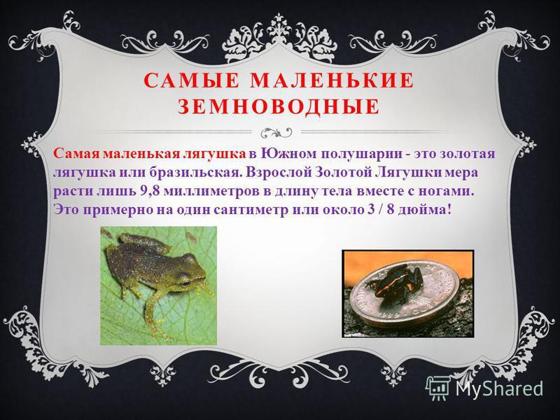 САМЫЕ МАЛЕНЬКИЕ ЗЕМНОВОДНЫЕ Самая маленькая лягушка в Южном полушарии - это золотая лягушка или бразильская. Взрослой Золотой Лягушки мера расти лишь 9,8 миллиметров в длину тела вместе с ногами. Это примерно на один сантиметр или около 3 / 8 дюйма!