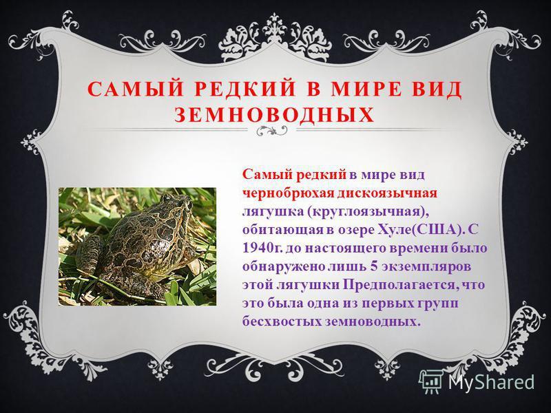 САМЫЙ РЕДКИЙ В МИРЕ ВИД ЗЕМНОВОДНЫХ Самый редкий в мире вид чернобрюхая дискоязычная лягушка (круглоязычная), обитающая в озере Хуле(США). С 1940 г. до настоящего времени было обнаружено лишь 5 экземпляров этой лягушки Предполагается, что это была од