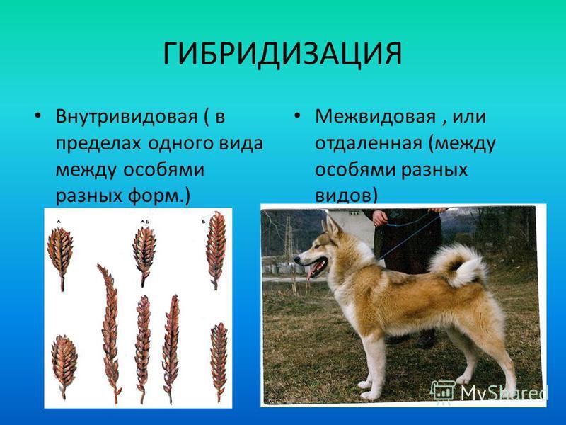 ГИБРИДИЗАЦИЯ Внутривидовая ( в пределах одного вида между особями разных форм.) Межвидовая, или отдаленная (между особями разных видов)