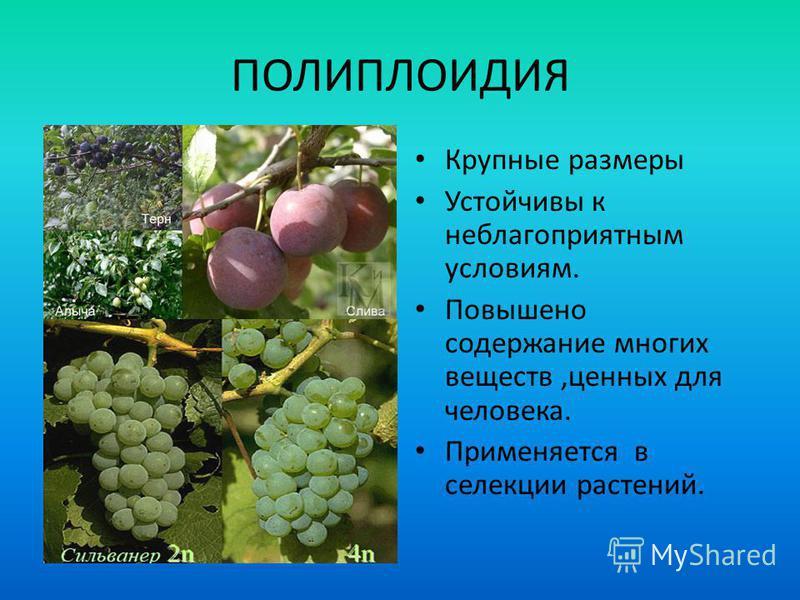 ПОЛИПЛОИДИЯ Крупные размеры Устойчивы к неблагоприятным условиям. Повышено содержание многих веществ,ценных для человека. Применяется в селекции растений.