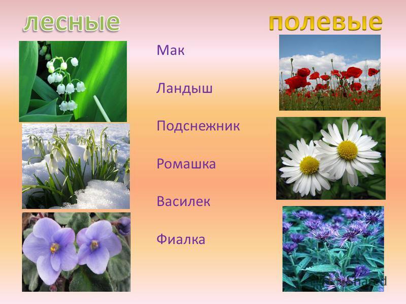 Мак Ландыш Подснежник Ромашка Василек Фиалка