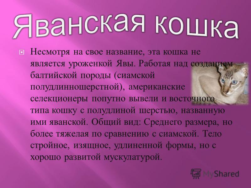 Несмотря на свое название, эта кошка не является уроженкой Явы. Работая над созданием балтийской породы ( сиамской полу длинношерстной ), американские селекционеры попутно вывели и восточного типа кошку с полудлиной шерстью, названную ими яванской. О