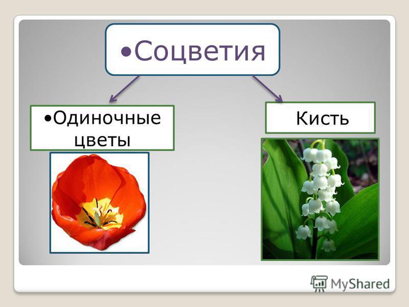 Соцветия Одиночные цветы Кисть