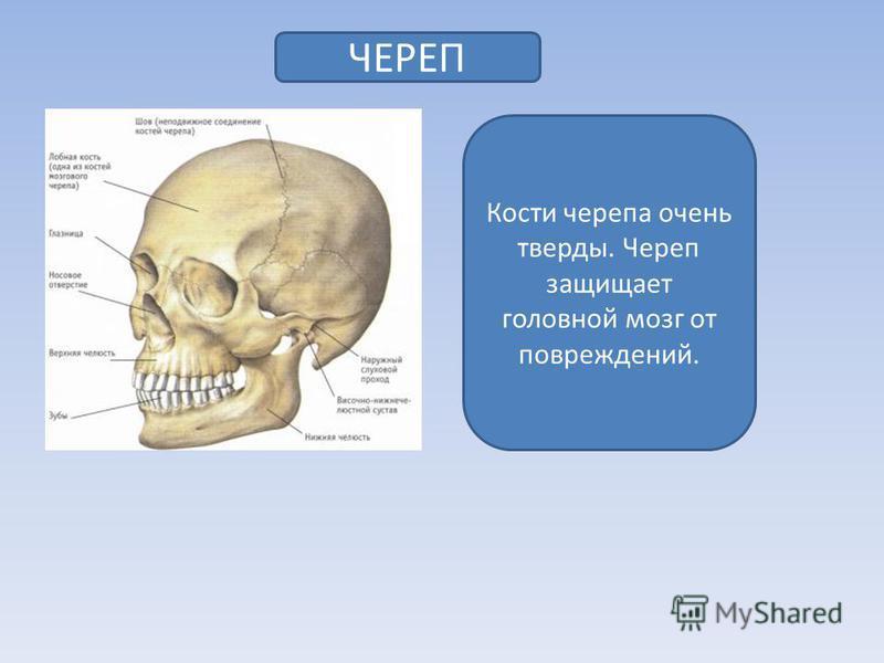 ЧЕРЕП Кости черепа очень тверды. Череп защищает головной мозг от повреждений.