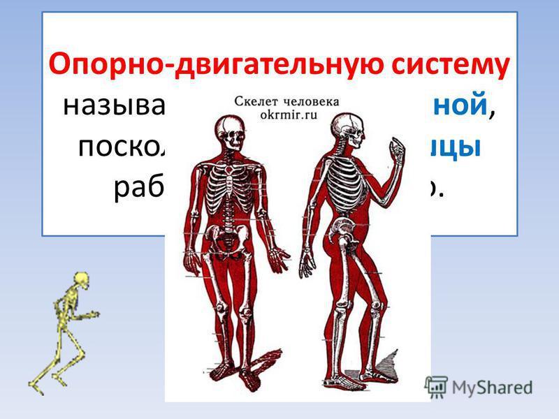 Опорно-двигательную систему называют костно-мышечной, поскольку скелет и мышцы работают согласовано.