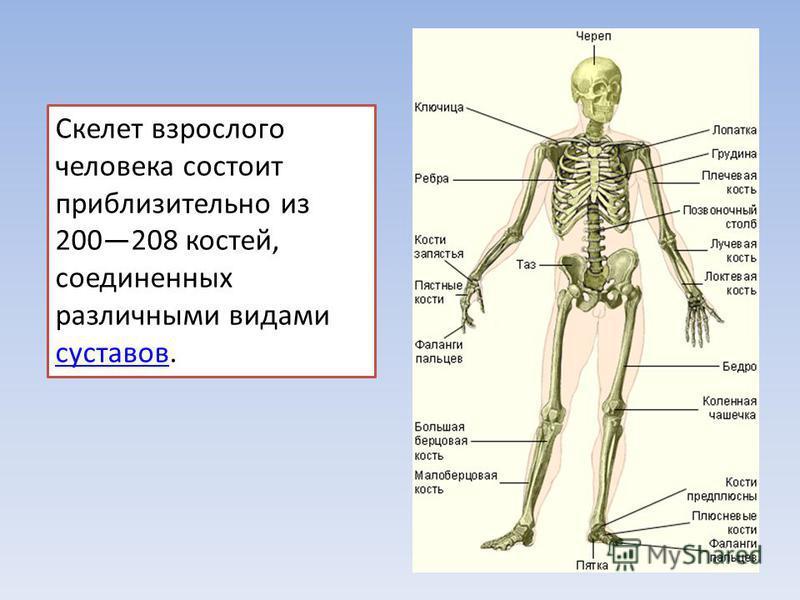 Скелет взрослого человека состоит приблизительно из 200208 костей, соединенных различными видами суставов. суставов