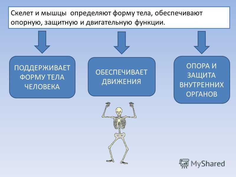 Скелет и мышцы определяют форму тела, обеспечивают опорную, защитную и двигательную функции. ОПОРА И ЗАЩИТА ВНУТРЕННИХ ОРГАНОВ ПОДДЕРЖИВАЕТ ФОРМУ ТЕЛА ЧЕЛОВЕКА ОБЕСПЕЧИВАЕТ ДВИЖЕНИЯ