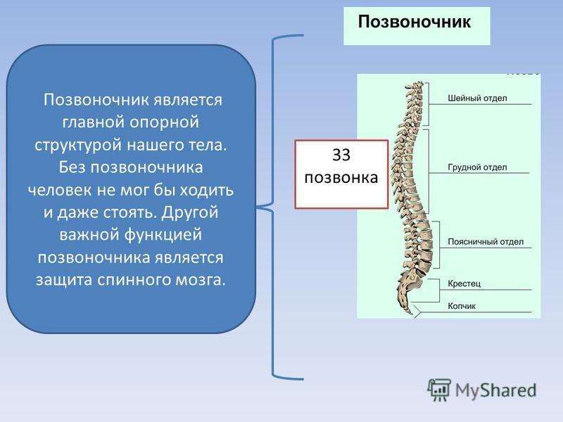 Позвоночник является главной опорной структурой нашего тела. Без позвоночника человек не мог бы ходить и даже стоять. Другой важной функцией позвоночника является защита спинного мозга. 33 позвонка
