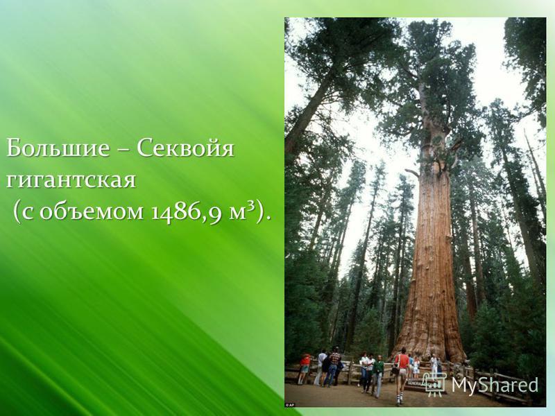Большие – Секвойя гигантская (с объемом 1486,9 м³).