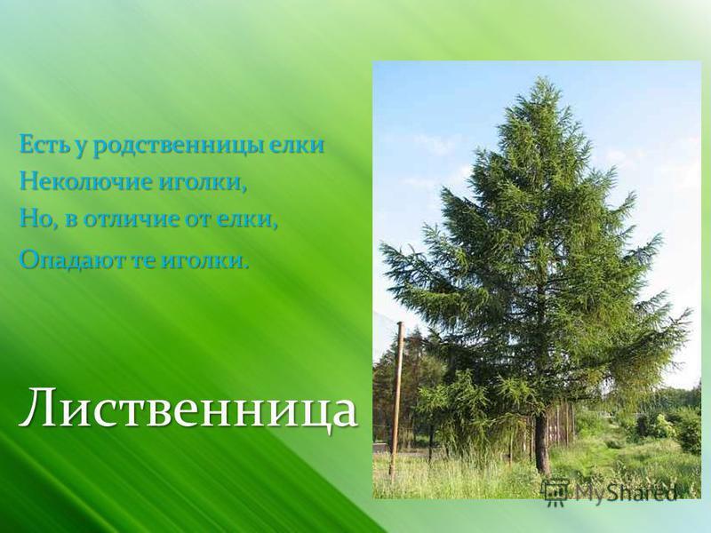 Есть у родственницы елки Неколючие иголки, Но, в отличие от елки, Опадают те иголки. Опадают те иголки. Лиственница