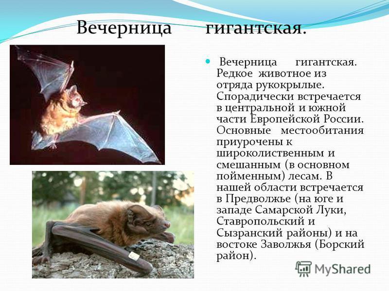 Вечерница гигантская. Вечерница гигантская. Редкое животное из отряда рукокрылые. Спорадически встречается в центральной и южной части Европейской России. Основные местообитания приурочены к широколиственным и смешанным (в основном пойменным) лесам.