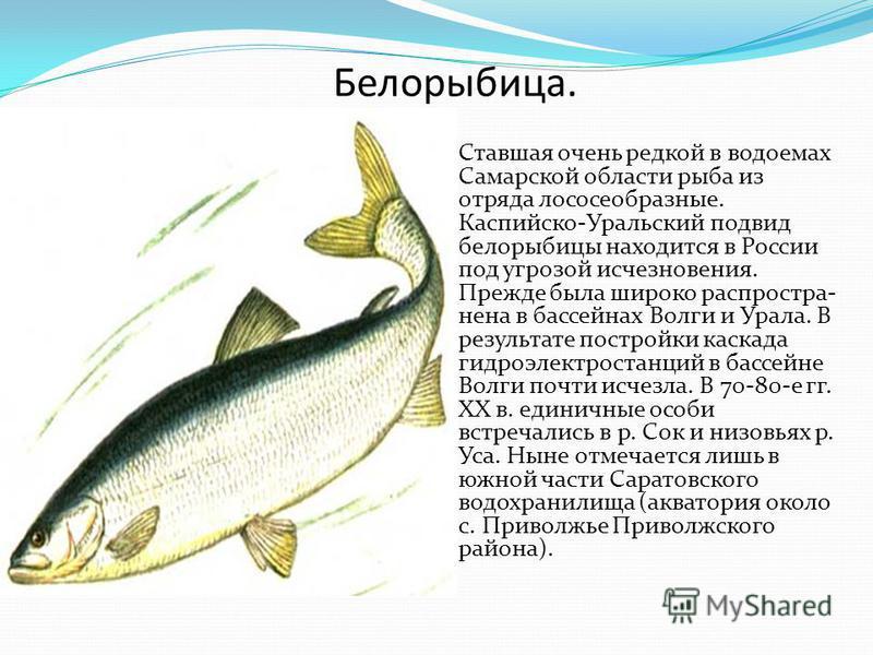 Белорыбица. Ставшая очень редкой в водоемах Самарской области рыба из отряда лососеобразные. Каспийско-Уральский подвид белорыбицы находится в России под угрозой исчезновения. Прежде была широко распространена в бассейнах Волги и Урала. В результате