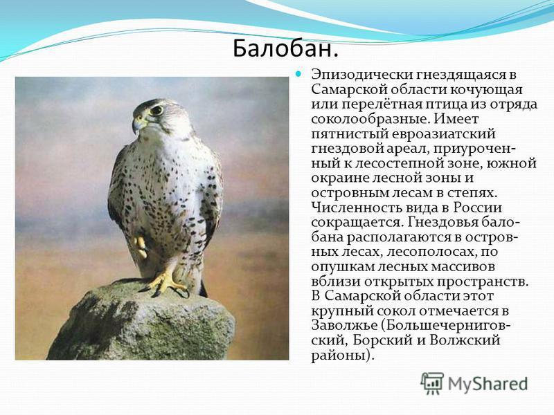 Балобан. Эпизодически гнездящаяся в Самарской области кочующая или перелётная птица из отряда соколообразные. Имеет пятнистый евроазиатский гнездовой ареал, приуроченный к лесостепной зоне, южной окраине лесной зоны и островным лесам в степях. Числен