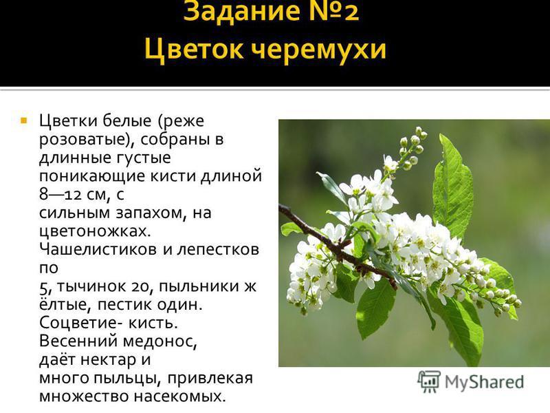 Цветки белые (реже розоватые), собраны в длинные густые поникающие кисти длиной 812 см, с сильным запахом, на цветоножках. Чашелистиков и лепестков по 5, тычинок 20, пыльники жёлтые, пестик один. Соцветие- кисть. Весенний медонос, даёт нектар и много