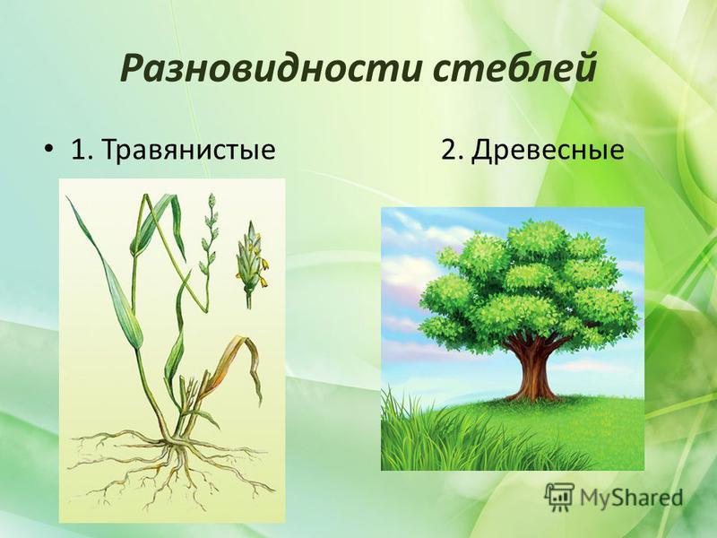 Разновидности стеблей 1. Травянистые 2. Древесные