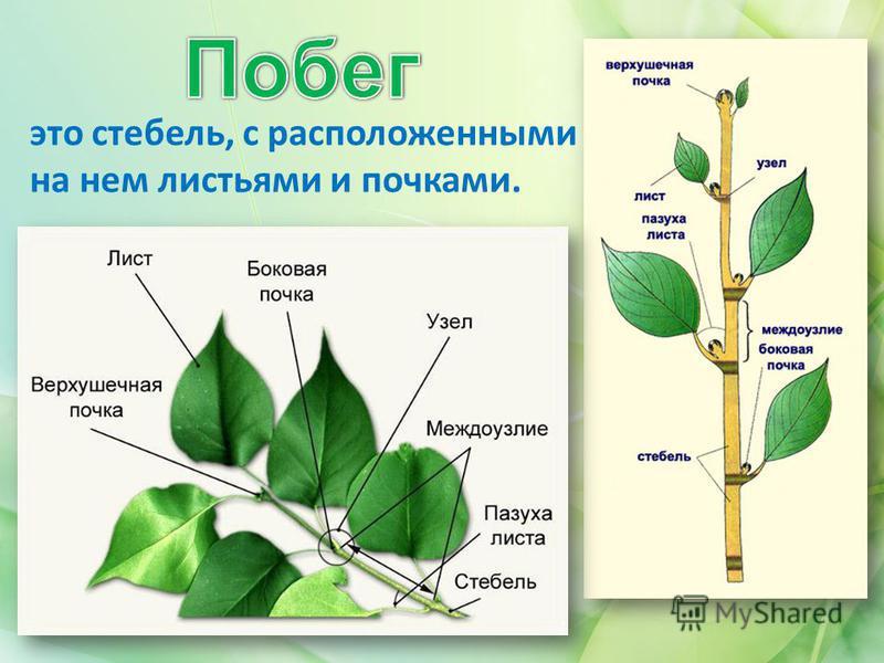 Биология стебля
