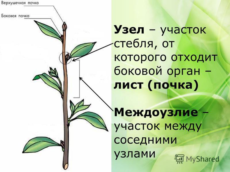 Узел – участок стебля, от которого отходит боковой орган – лист (почка) Междоузлие – участок между соседними узлами