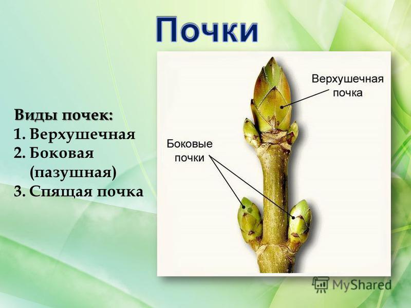 Виды почек: 1. Верхушечная 2. Боковая (пазушная) 3. Спящая почка