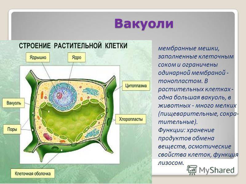 Вакуоли мембранные мешки, заполненные клеточным соком и ограничены одинарной мембранай - тонопластом. В растительных клетках - одна большая вакуоль, в животных - много мелких (пищеварительные, сокра тительные). Функции: хранение продуктов обмена вещ