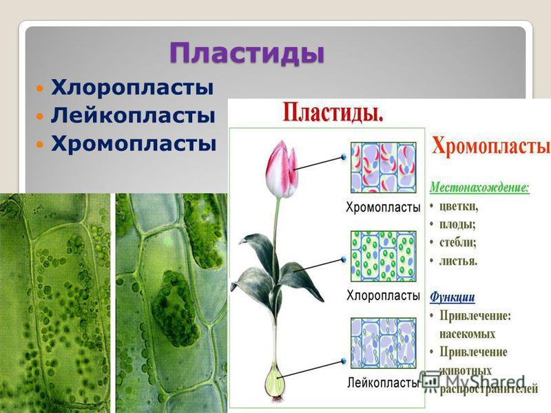 Пластиды Хлоропласты Лейкопласты Хромопласты